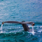 Whaling Redux: Insurers Don't Cover Whale Attacks