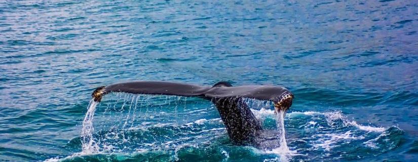 Whaling Is Flourishing, A $5 Billion Hacker Lottery